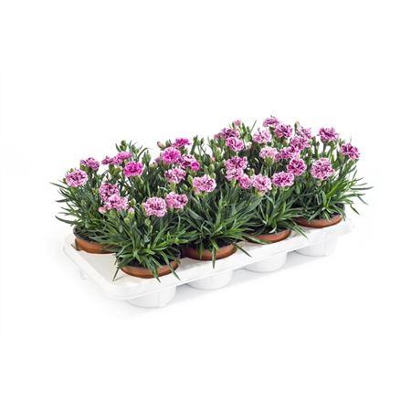 <h4>Dianthus Caryophyllus 'sissy'</h4>