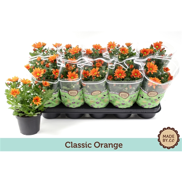 <h4>Chrysanthemum Jive Time</h4>