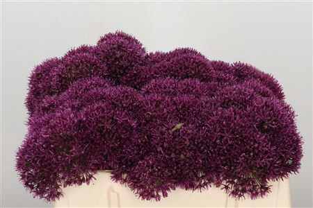 <h4>Allium Purple</h4>