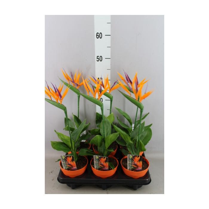 <h4>Arr.  Strelitzia L%</h4>