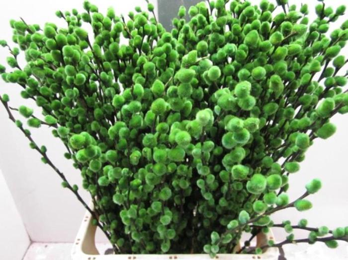 <h4>Salix Katje Groen L70</h4>