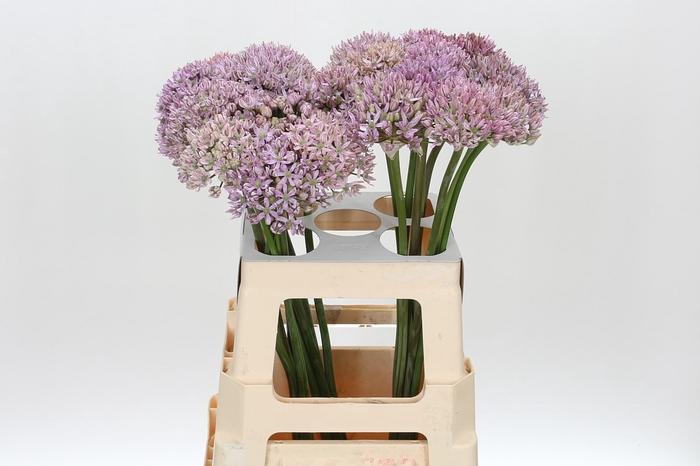<h4>Allium 'Pink Jewel'</h4>