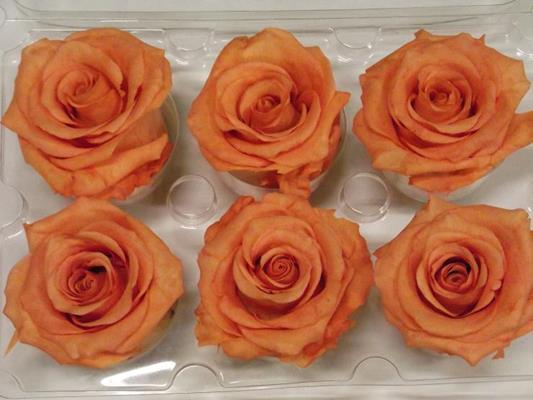 <h4>R Prs Orange</h4>