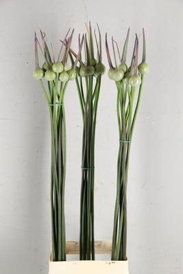 <h4>Allium Cepa Judith</h4>