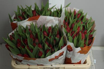 <h4>Tulip single Pallada</h4>