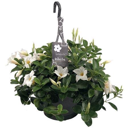 <h4>Mandevilla Sundaville White Hangpot (dipladenia)</h4>