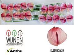 <h4>Anthurium Maxima Elegancia</h4>