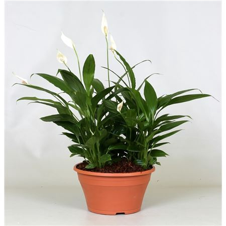 <h4>Spathiphyllum In Kunststof Schaal</h4>
