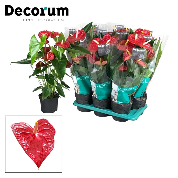 <h4>Anthurium Dakota pot 17  X sortering</h4>