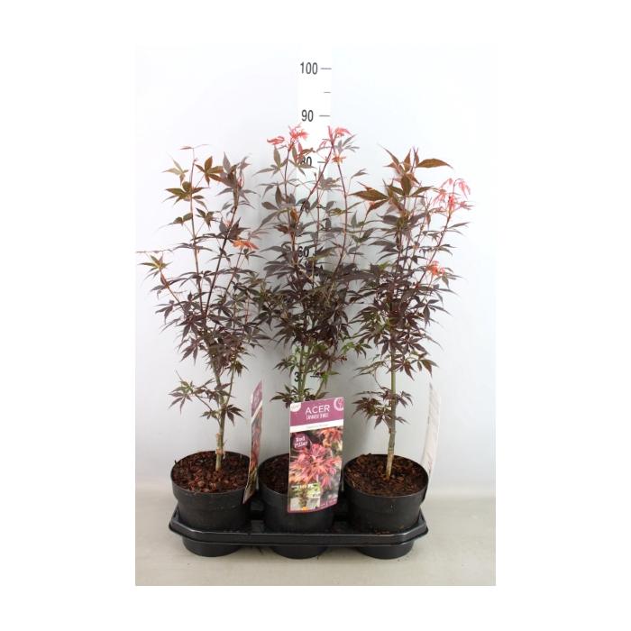 <h4>Acer palmatum 'Skeeters Broom'</h4>