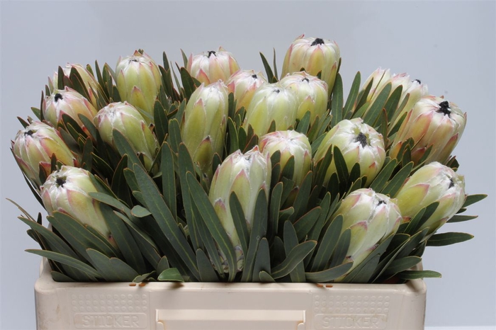 <h4>Protea White Night</h4>