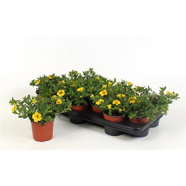 <h4>Calibrachoa Minifamous Sun Yellow</h4>
