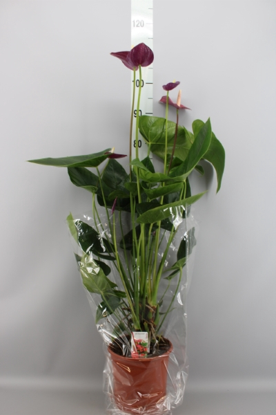 <h4>Anthurium andr. 'Violet Heart'</h4>