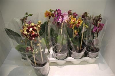 <h4>Phalaenopsis Multi Mix</h4>
