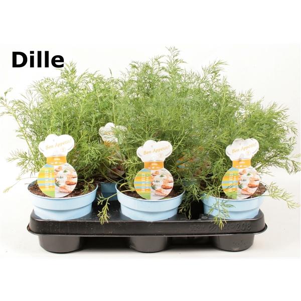 <h4>Dille</h4>