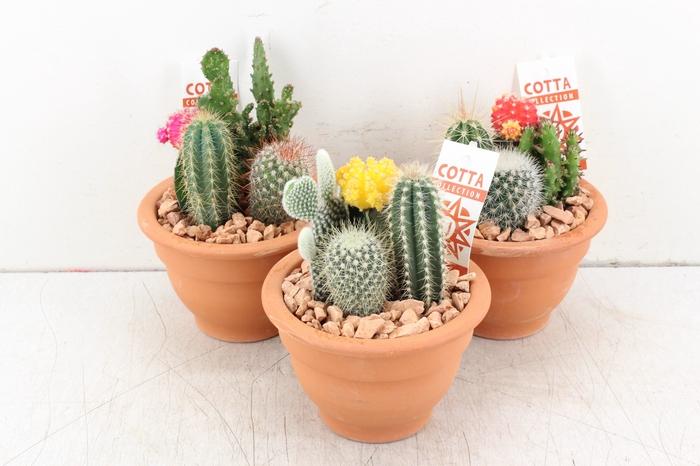 <h4>arr. UB Cactus - Terra potje kleur mix</h4>