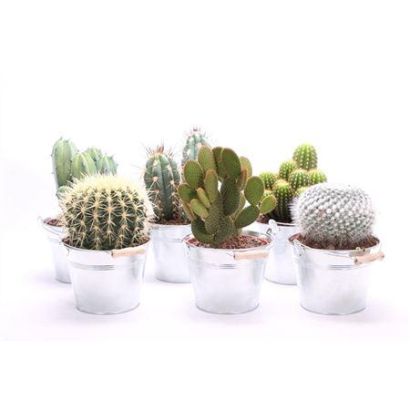 <h4>Cactus Canarias Zinken Emmer</h4>
