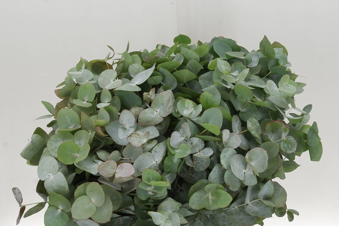 <h4>Eucalyptus Cinerea 50cm (P. Bos)</h4>