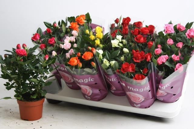 <h4>Rosa Beau Monde mix 7srt</h4>