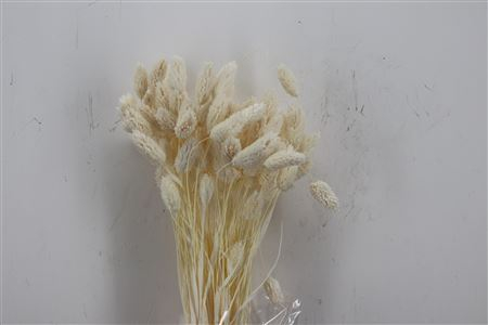 <h4>DRIED PHALARIS BLEACHED 100GR POLY</h4>