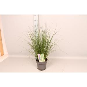 vaste planten 19 cm  Pennisetum Hameln
