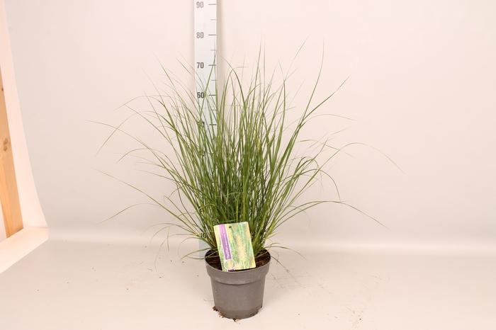 <h4>vaste planten 19 cm  Pennisetum Hameln</h4>