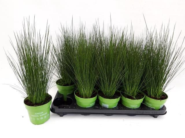<h4>JUNCUS PENC GRASS</h4>
