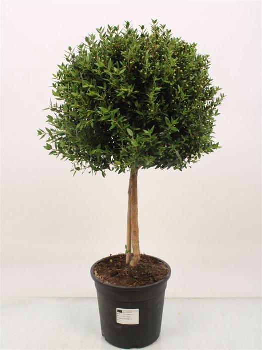 <h4>Myrtus Communis Stem</h4>