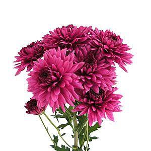 Chrysanthemum spray dante morado
