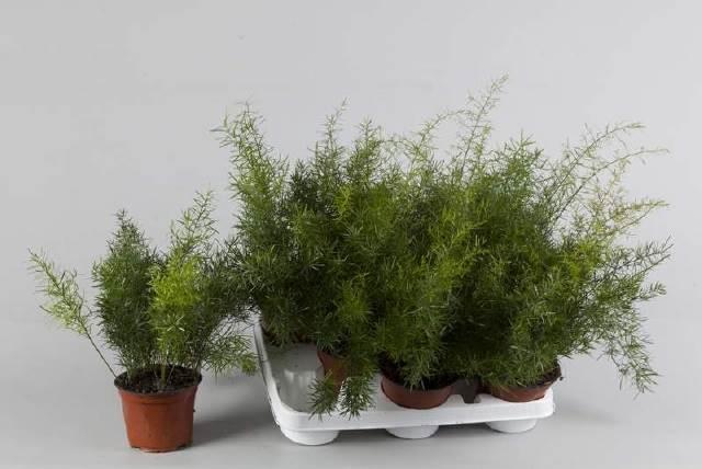 <h4>Asparagus Densif Sprenge</h4>