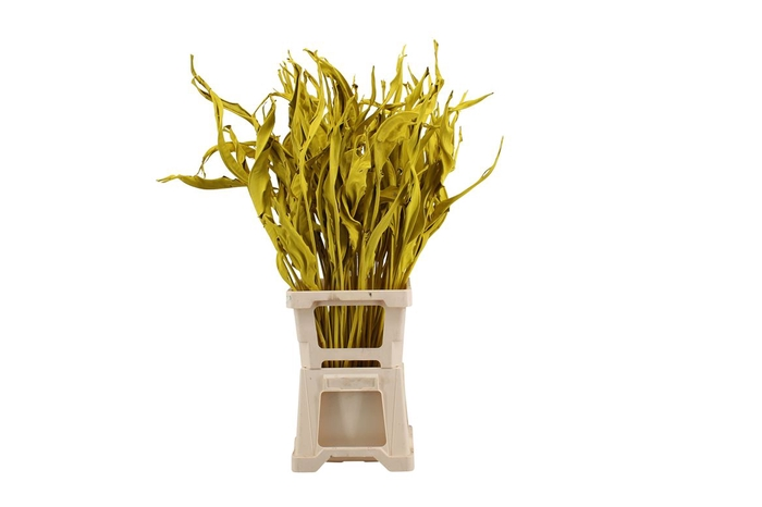 <h4>Strelitzia Yellow</h4>