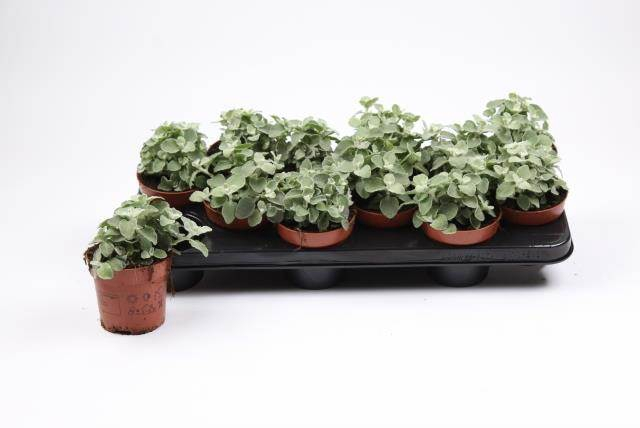 <h4>Helichrysum Splendidum</h4>