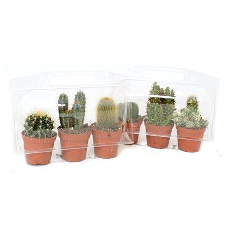 <h4>3x Cactus 8,5 Cm In 3er Blister</h4>