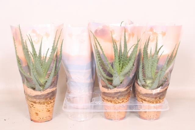 Aloe Arborescens 12Ø 25cm