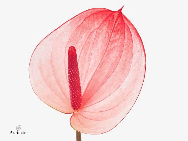 <h4>Anthurium A Maxima Elegancia</h4>