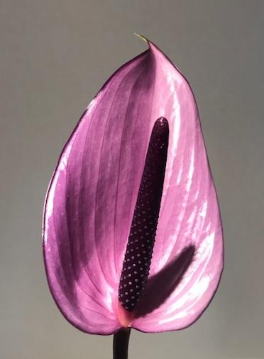 <h4>Anthurium Previa Purple Small</h4>