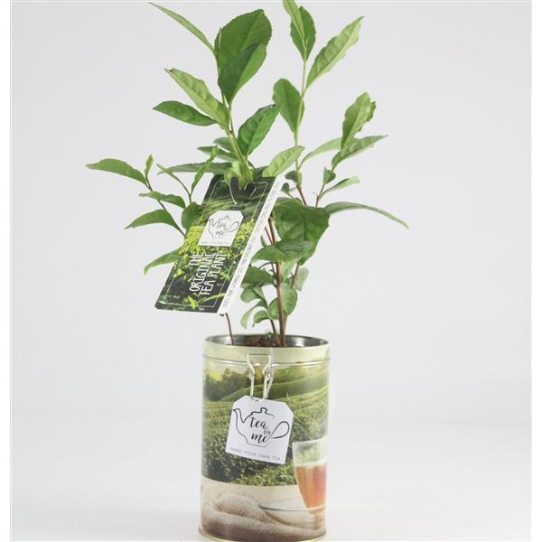 <h4>7250-TEA Theeplant in voorraadblik</h4>