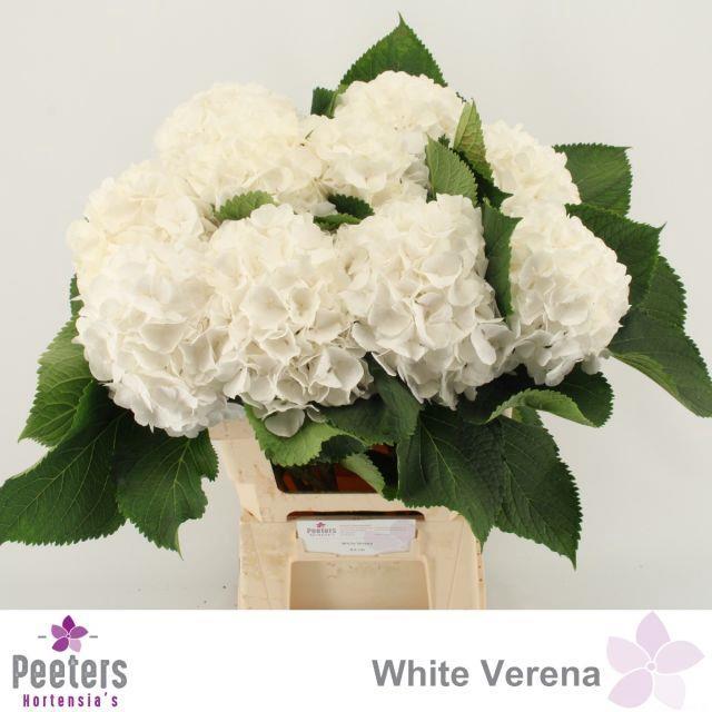 <h4>HYDR M WHITE VERENA</h4>