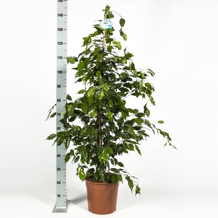 <h4>Ficus benja. 'Exotica'</h4>