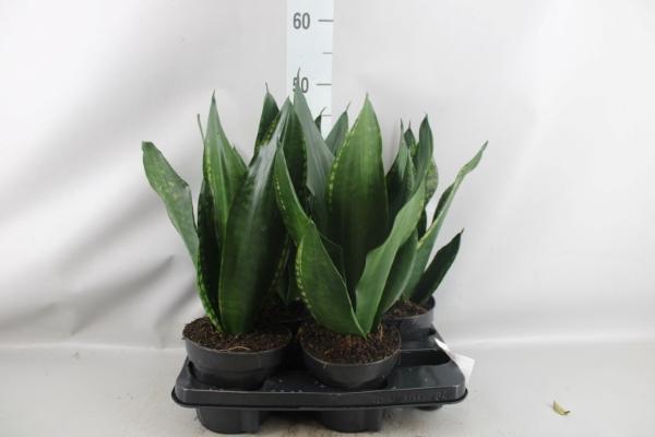 <h4>Sansevieria trifa.   ...</h4>