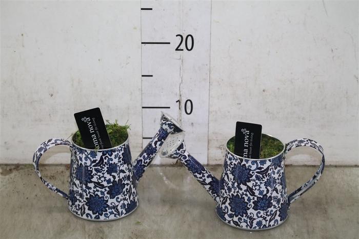 <h4>Hyacinth Mix 883 Denim Can</h4>