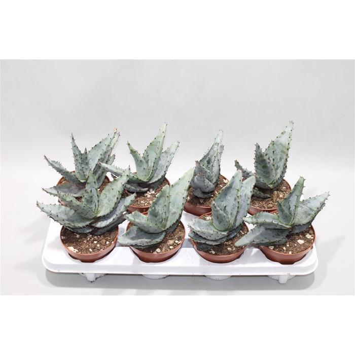 <h4>Aloe Reitzii</h4>
