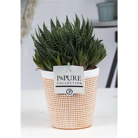 <h4>Aloe Aristata In Terracotta</h4>