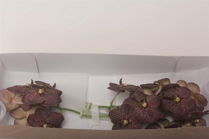 <h4>Vanda Su Chocolate Brown</h4>