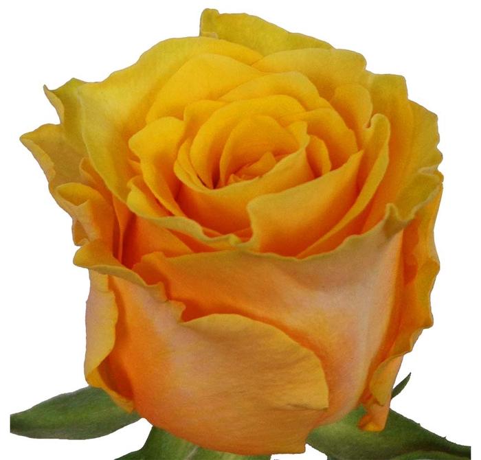 Rosa gr Frida (Nevado)