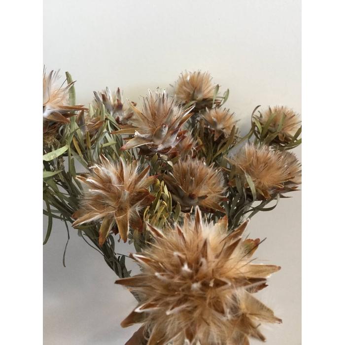 <h4>DRIED FLOWERS - PLUMOSUM 10PCS</h4>