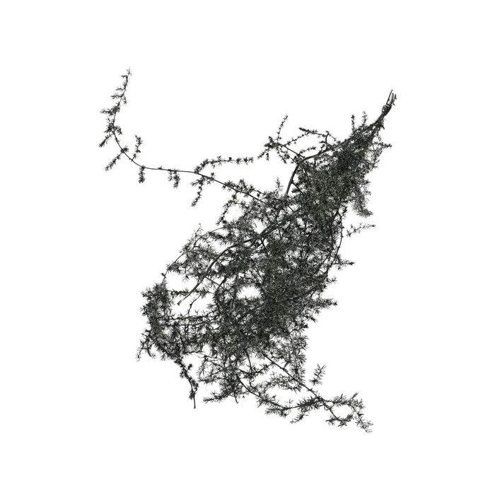 <h4>Droogbloem Asparagus wild 50cm</h4>