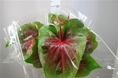 <h4>Anthurium A Spice Semafor</h4>