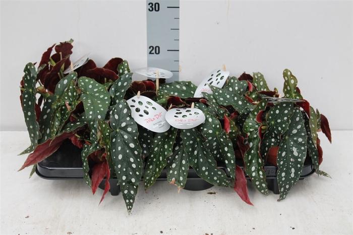 <h4>Begonia Maculata</h4>