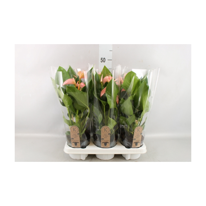 <h4>Anthurium andr. 'Joli Peach'</h4>
